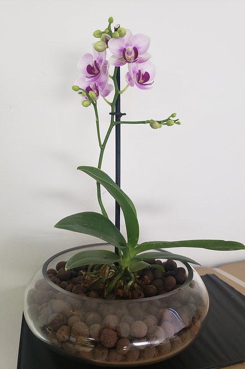 Arreglo Orquidea Phaleonopsis enana