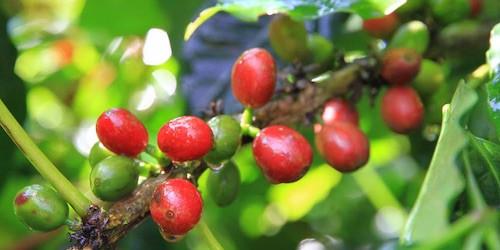 台湾コーヒー