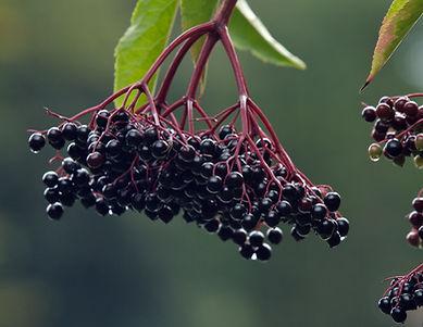 elderberry.jpeg