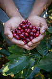 Tour de Café Monteverde - Manos con café maduro.jpeg