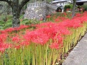 常楽寺の彼岸花を見てきました