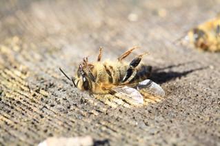 La extinción de las abejas; Un peligro para a humanidad.