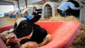 Así separan a terneros de sus madres en la industria láctea, como denunció Joaquin Phoenix