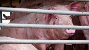 """Alerta por posible """"nueva pandemia"""" vinculada al consumo de cerdos"""