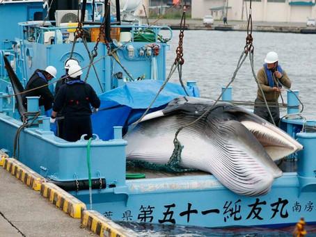 VIDEO: Japón reanuda caza de ballenas tras 30 años de prohibición