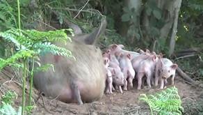 Cerdita escapa de una granja para salvar a sus crías de los agricultores