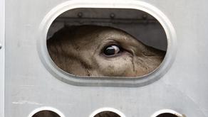 El transporte de animales: una cruel realidad que pasa desapercibida