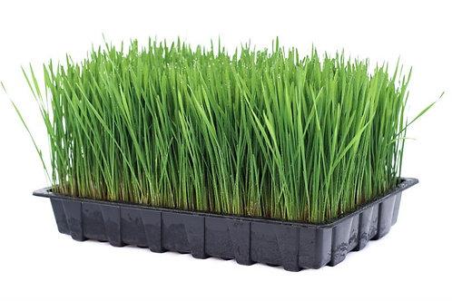 Wheatgrass (full tray)