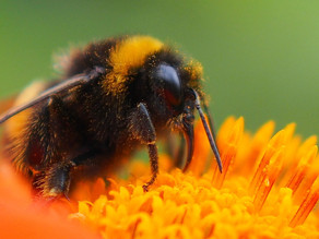 Pollinator Highway and the Humble Bumble Bee