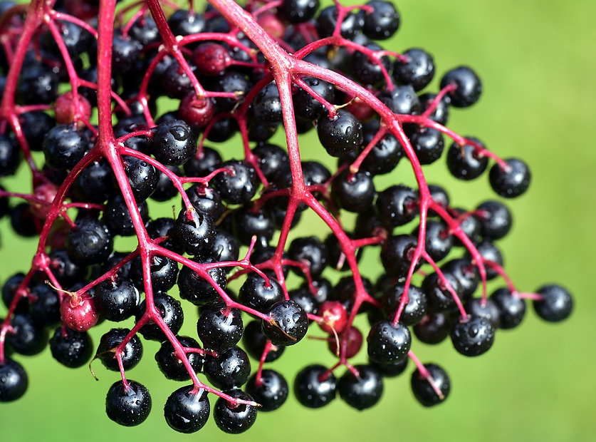elderberries%20hanging_edited.jpg