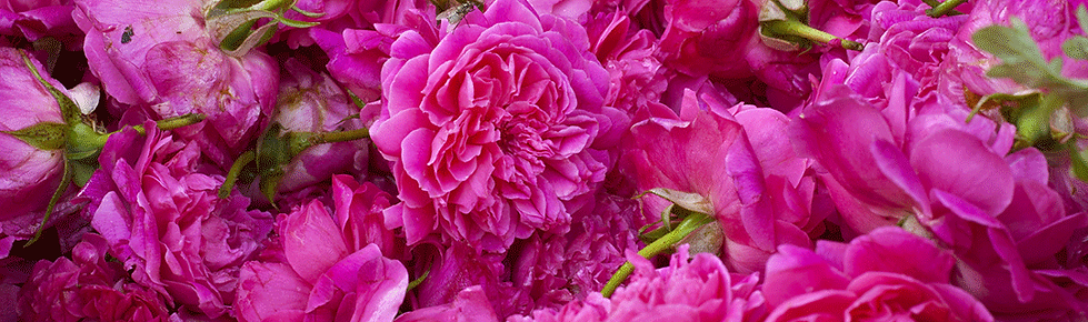pink_roses.png