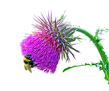 thistle_bee.png