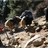 Yaks on the trail..