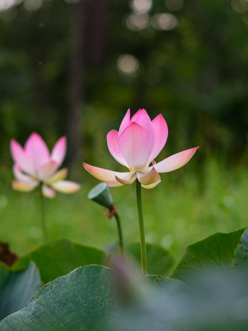 MacawLogde- LotusFlower - fotosbyboca
