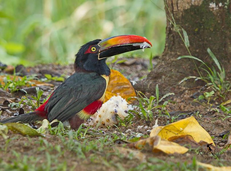 Macaw Lodge bird2