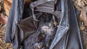 Heatwave in North Queensland destroys Bat Colonies - please help! 🎥