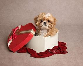 Teacup Shih tzu puppy Crowborough