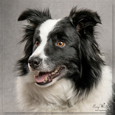Collie dog photoshoot