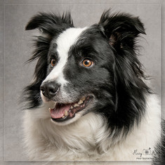Collie dog photoshoot