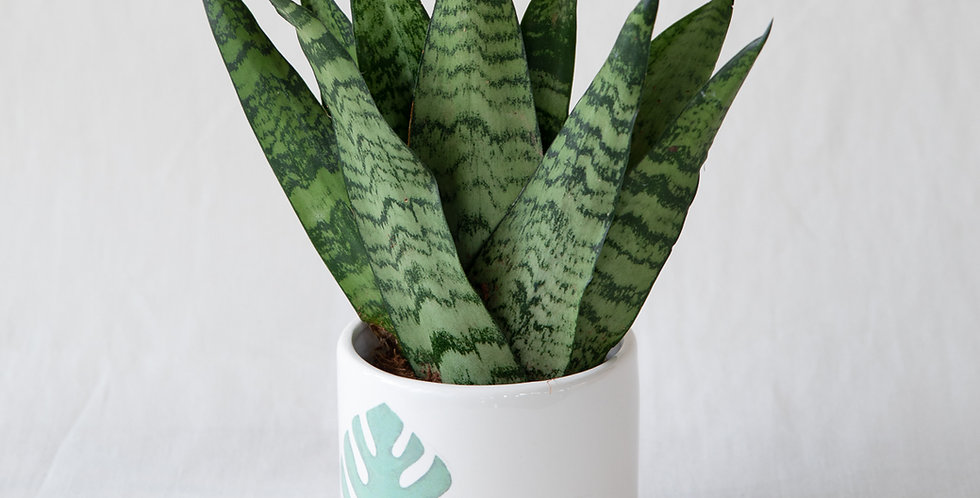 Sanseveria con vaso in ceramica