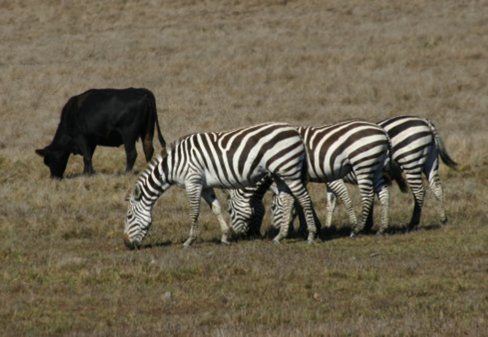 zebras-cow-0