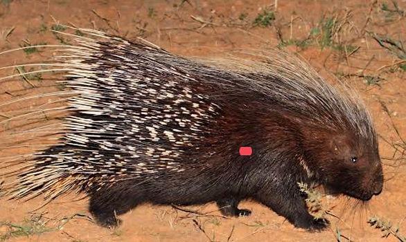 Porcupine SP.jpg