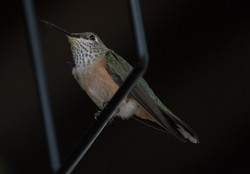 SWING (perched with pollen)