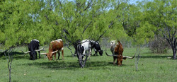 Texas Grazers