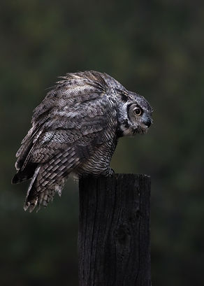 Great Horned OWL- WY-GUARDIAN OF THE SOU