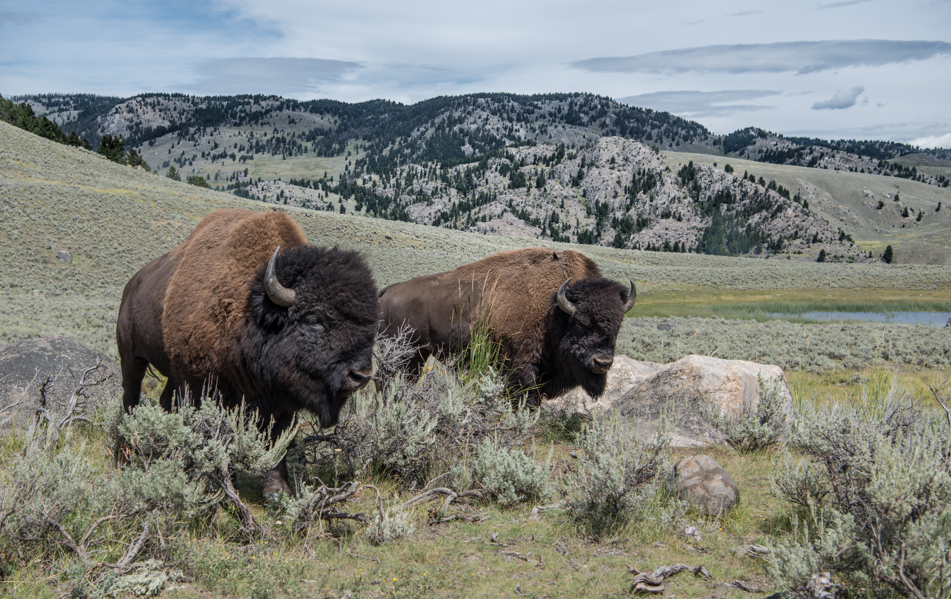Bison in Portriat