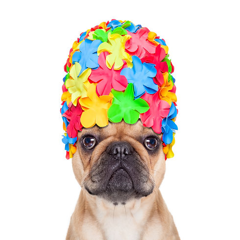 french bulldog dog wearing a bathing or swimming cap ready to enjoy the summer vacation ho