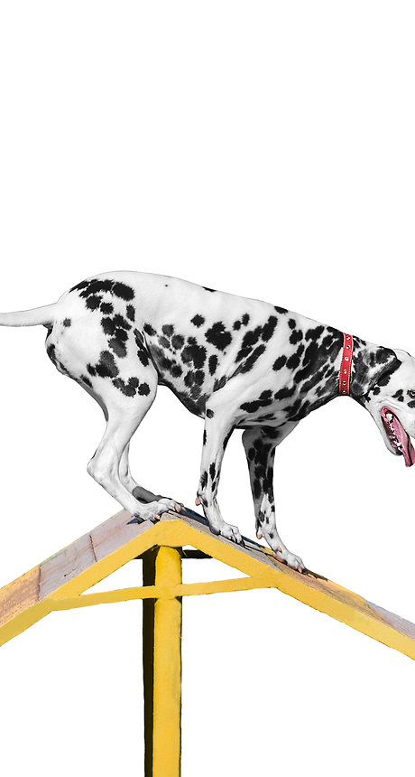 Dalmatian dog is trained on the barrier slide - Isolated on white.jpg