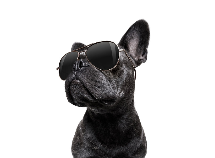 cool%20trendy%20posing%20french%20bulldog%20with%20sunglasses%20looking%20up%20like%20a%20model%20%2