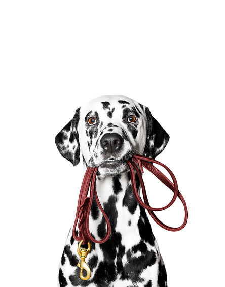 Dalmatian is holding the leash in its mo