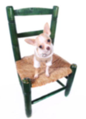 stockvault-chihuahua-dog-sitting-on-chai