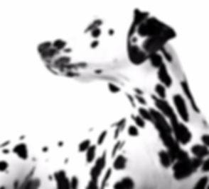 Dalmatian_edited_edited_edited.jpg