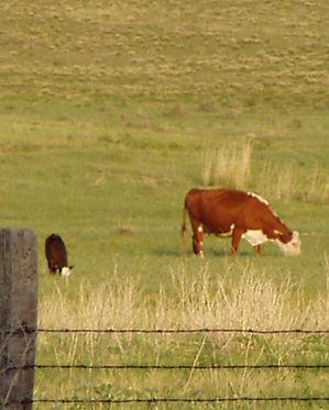 Cow with Calves.JPG