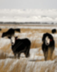 Cattle Grazing in Winter.jpg
