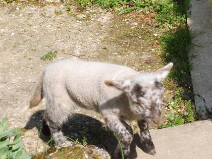 Agneau de Dieu, agneau vainqueur