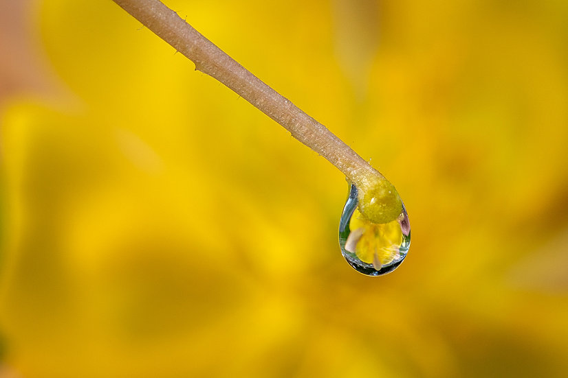 A Drop of Yellow