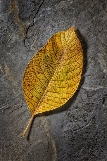 leaves fossil