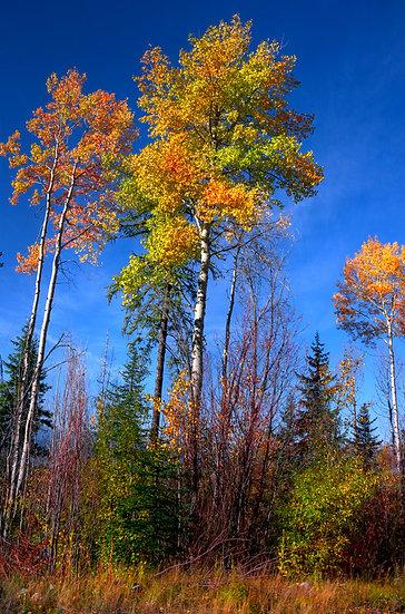 Poplar Trees Kelowna
