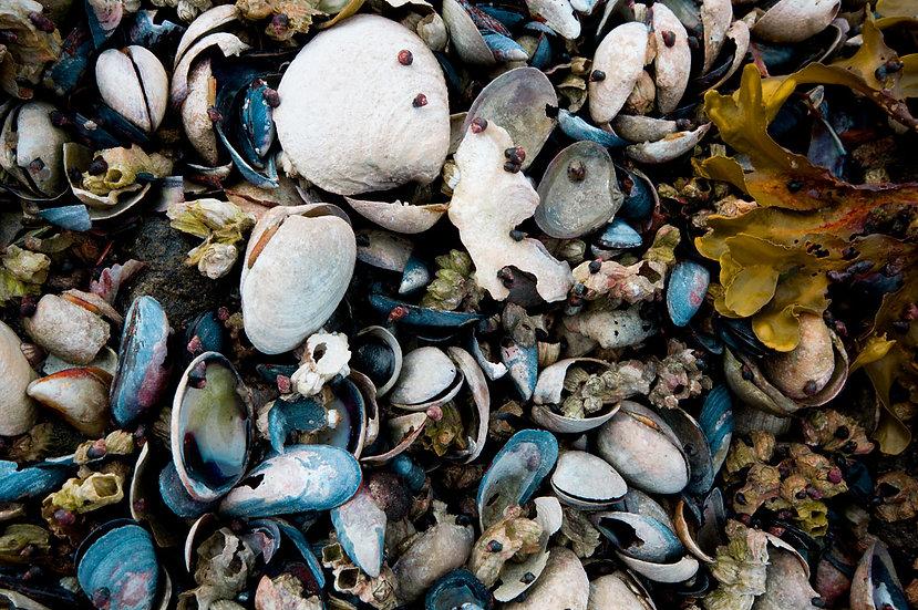 West Coast Shells 1