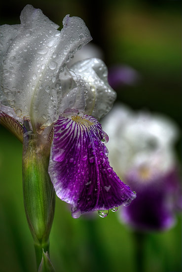 water drops flowers