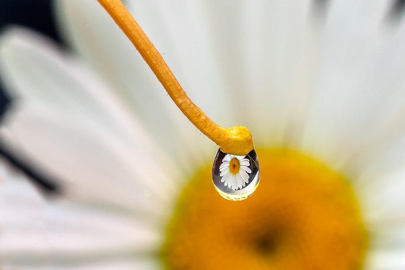 Daisy Eye View