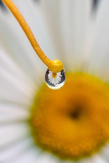 Daisy Eye View 2