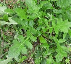 Salvia lyrata basal leaves.jpg