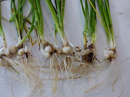 Allium bivalve bulbs(1).jpg