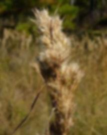 Andropogon glomeratus