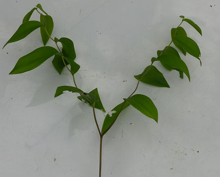 Uvularia sessilifolia branched stem(1).jpg